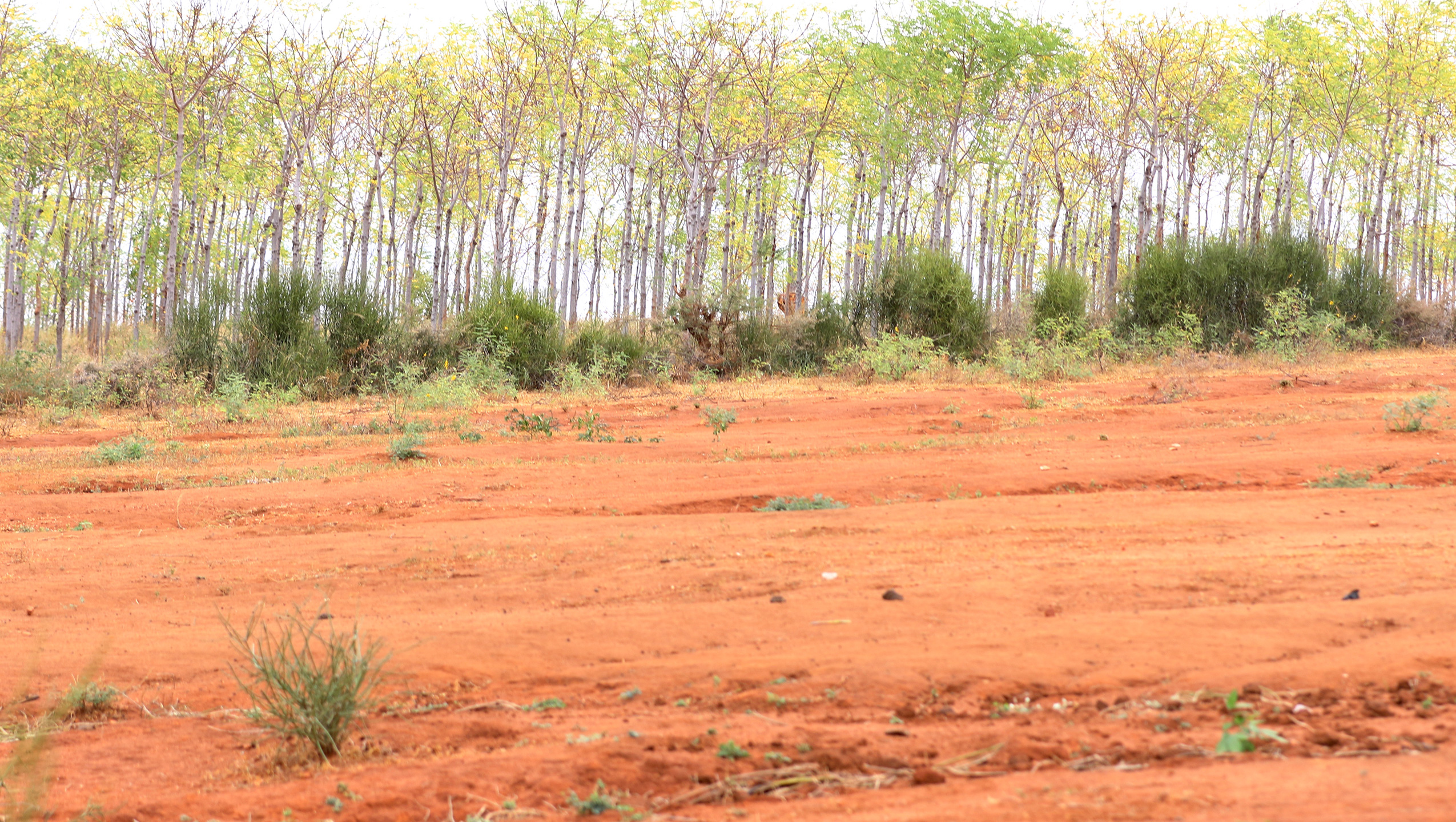 Planting af træer i semiørkenen